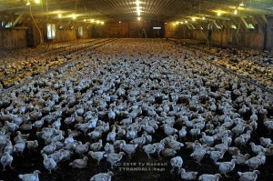 Largest Chicken Population in the World, China